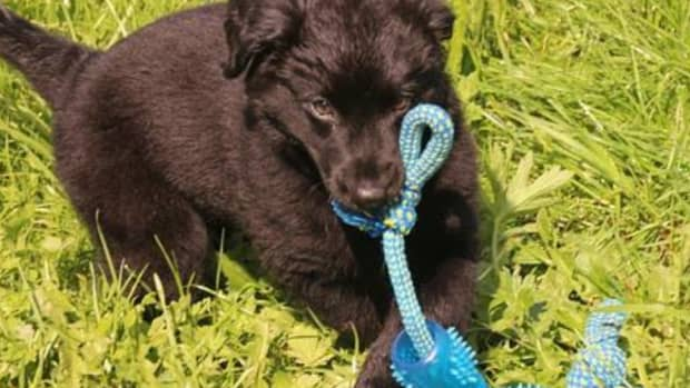 why-do-dogs-shake-their-toys
