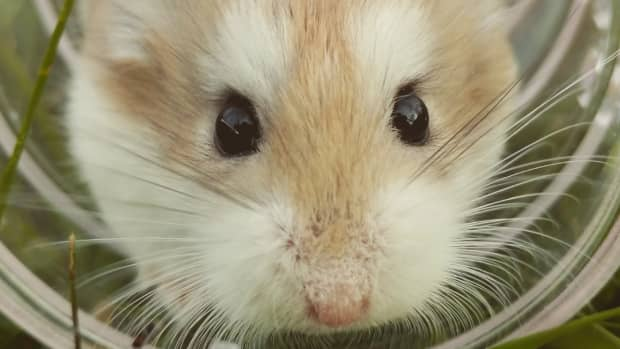 how_much_does_a_hamster_need_to_eat