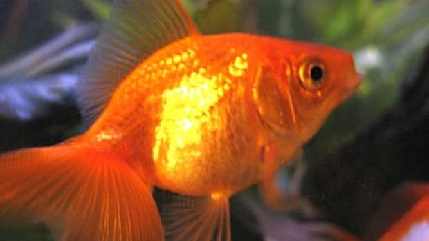 stop-your-pet-fish-may-not-be-dead