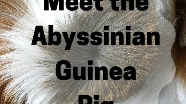 all-about-abyssinian-guinea-pigs