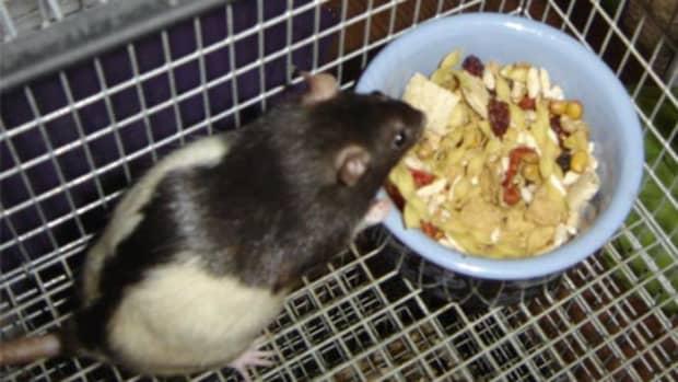 homemade-rat-diets