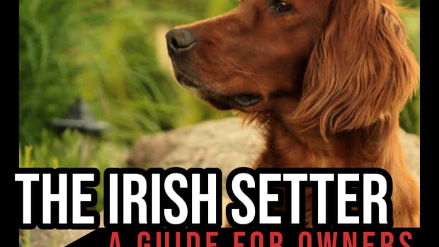 the-irish-setter-a-guide-for-owners