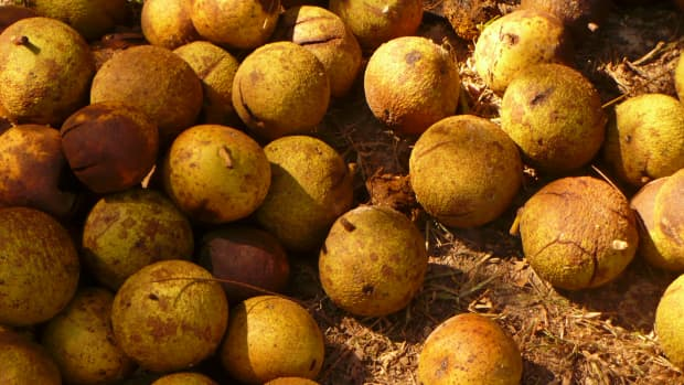 black-walnuts-harvesting-storing-and-cooking