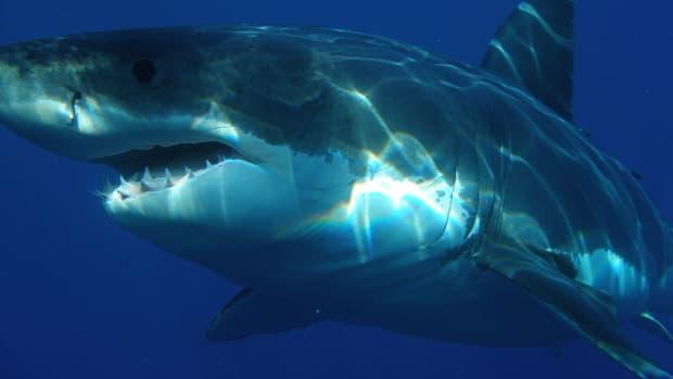 is-the-megalodon-shark-still-alive
