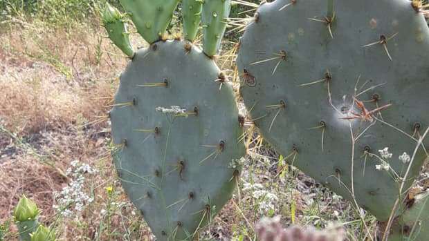 how-to-collect-and-cook-prickly-pear