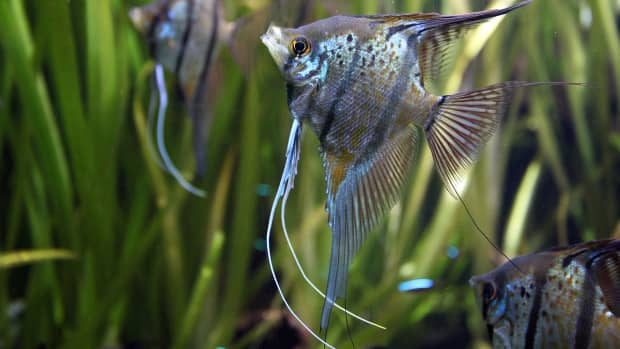 freshwater-angelfish-care-guide-facts-faq