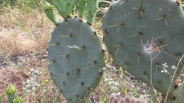 how-to-harvest-prickly-pear-cactus