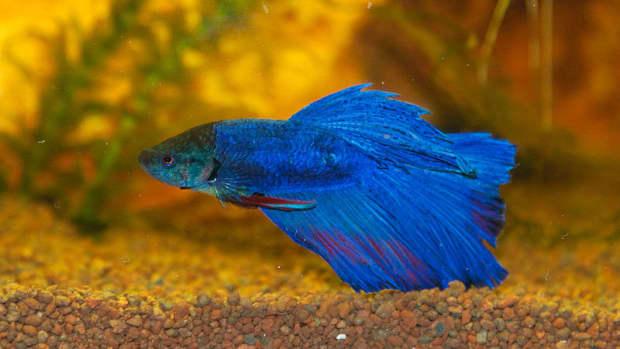 semi-aggressive-freshwater-fish-for-a-tropical-aquarium