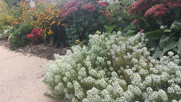 sweet-alyssum-how-to-grow-and-care-for-this-flowering-groundcover