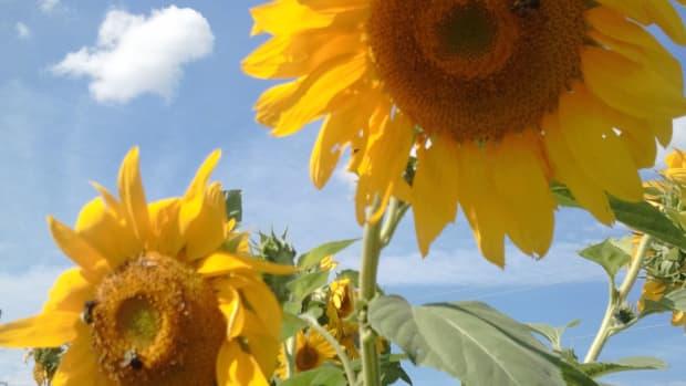 how-to-grow-sunflowers