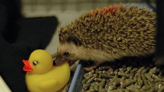 housing-a-hedgehog