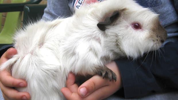 cute-guinea-pig-names