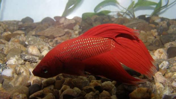 what-do-betta-fish-eat-feeding-guide