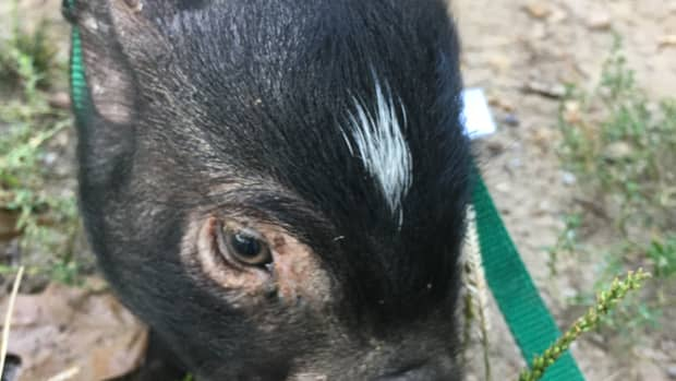 introducing-a-new-house-pig