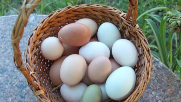 egg-eating-when-good-hens-go-bad