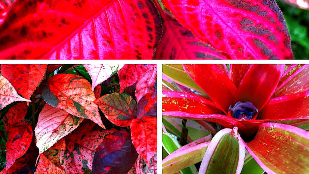 10-spectacular-red-foliage-tropical-plants-for-your-garden