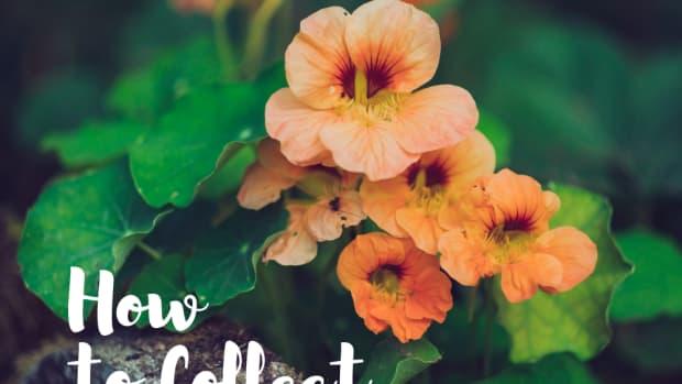 collecting-nasturtium-seeds