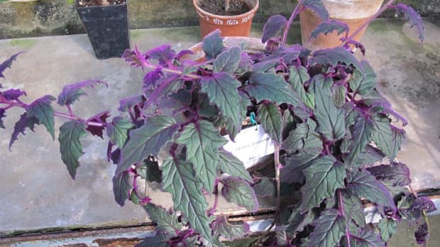 how-to-grow-purple-passion-plant-velvet-plant