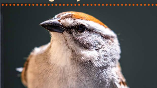 raising-a-baby-sparrow