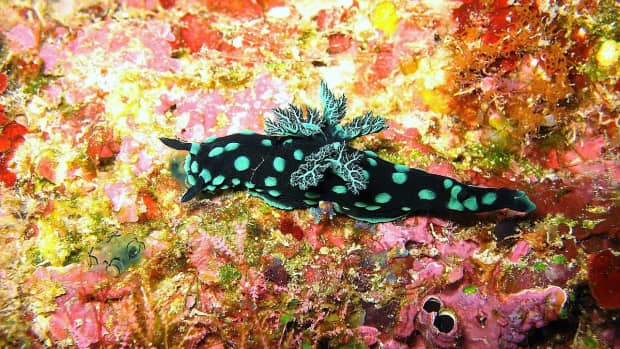 beautiful-sea-slugs-and-facts-about-marine-gastropods