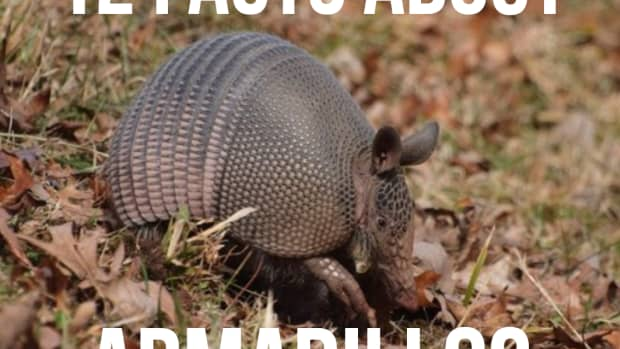 interesting-facts-about-armadillos