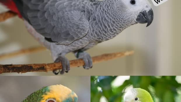 parrots-that-can-talk