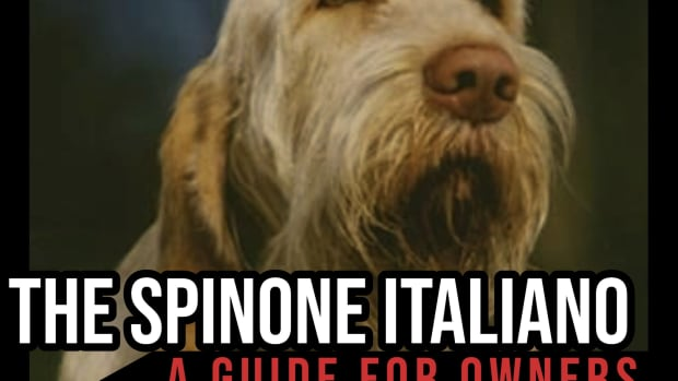the-spinone-italiano-a-guide-for-owners