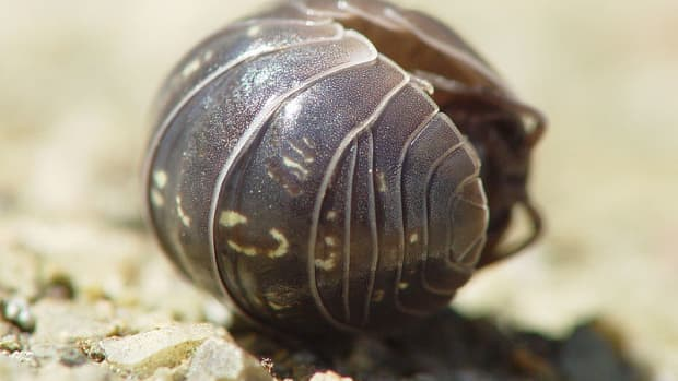 how-to-get-rid-of-woodlice-roly-pollies