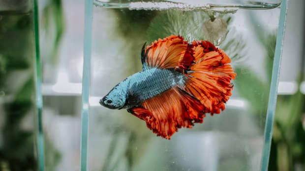 common-betta-fish-myths