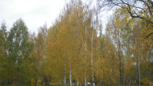yellow-birches