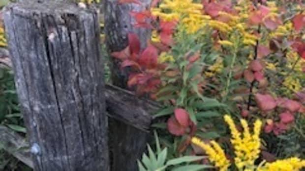 wildflowers-of-westminster-woods