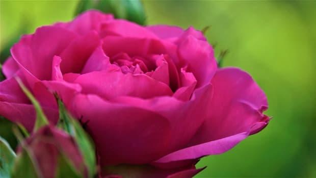 world-rose-day