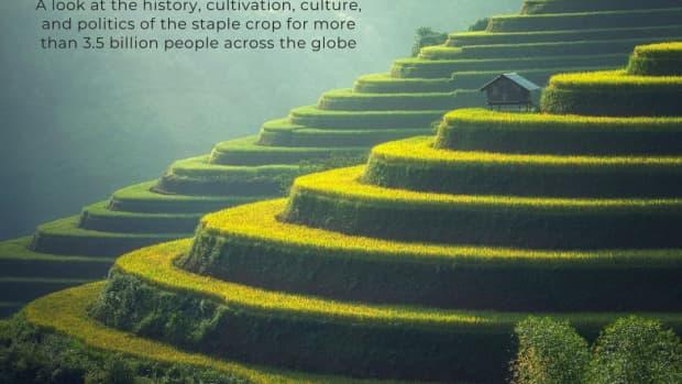 rice-the-staple-diet-of-half-the-world