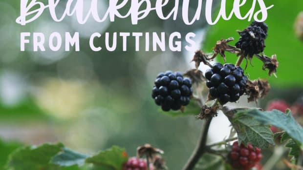 blackberry-plants-how-to-grow-and-propagate