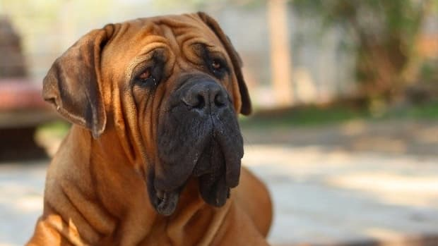 causes-of-saggy-loose-skin-in-dogs