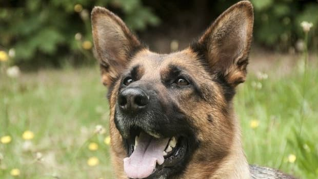 why-do-my-dogs-ears-stink-how-to-stop-dog-ear-odor