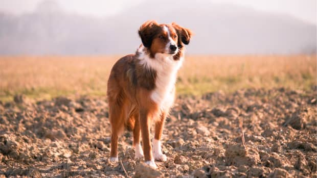 everything-you-need-to-know-about-vascular-accidents-strokes-in-dogs