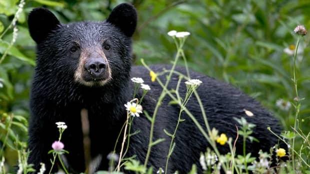 black-bears-how-to-share-your-neighborhood