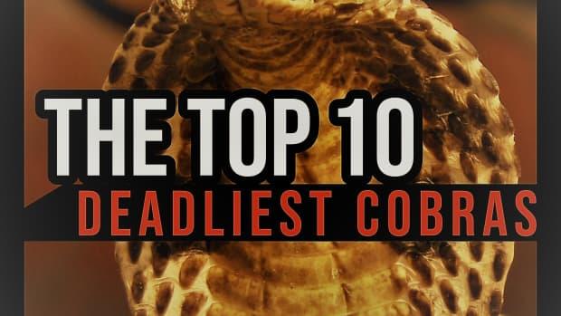 the-top-10-deadliest-cobras