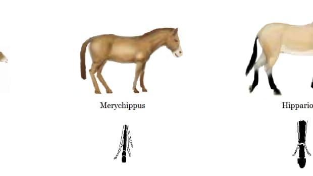 equine-domestication