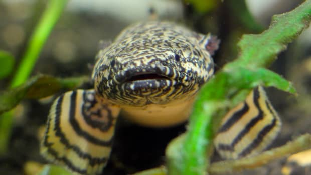 my-experience-with-the-senegal-leopard-bichir