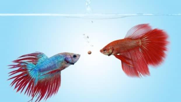 betta-fish-aquarium-tankmates