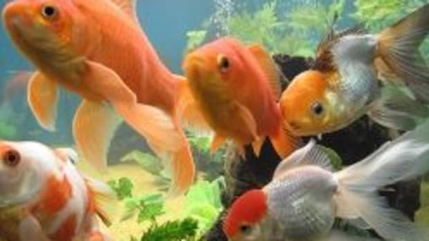 gold-fish-tank-set-up