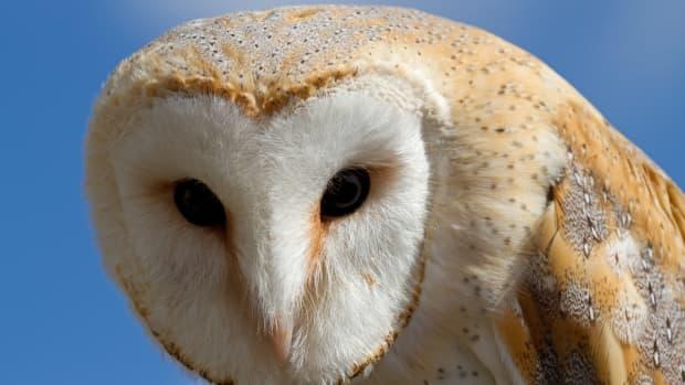 birds-of-prey-the-barn-owl