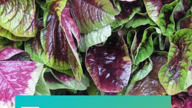 chinese-spinach-yin-sai-benefits-and-recioe