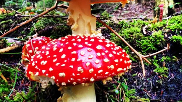picking-edible-wild-mushrooms-wild-mushroom-hunting