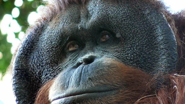 world-orangutan-day