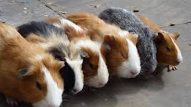 all-about-caring-for-your-guinea-pig