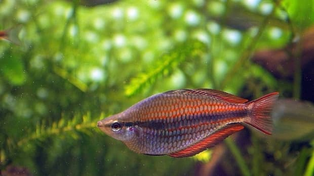 rainbow-fish-facts-bosemani-and-other-rainbowfish