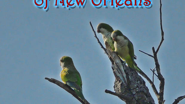 wild-quaker-parrots-of-new-orleans